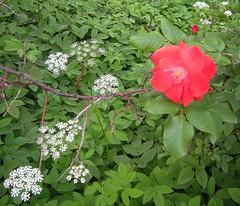 Giersch und rote Rose