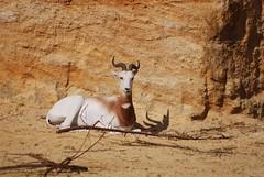Damagazelle im Zoo de Doué-la-Fontaine