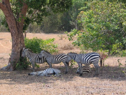 Zebras in Calauit