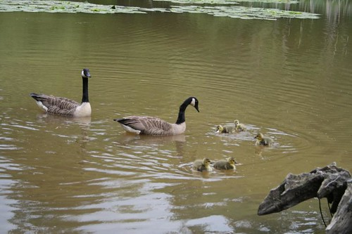 Canada Geese teaching offspring how to scrounge