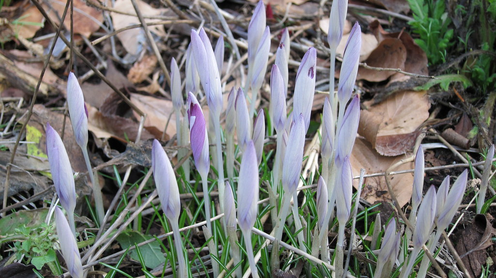 Crocus thinking about blooming