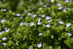 新治市民の森のオオイヌノフグリ(Persian speedwell at Niiharu civic forest, Japan)
