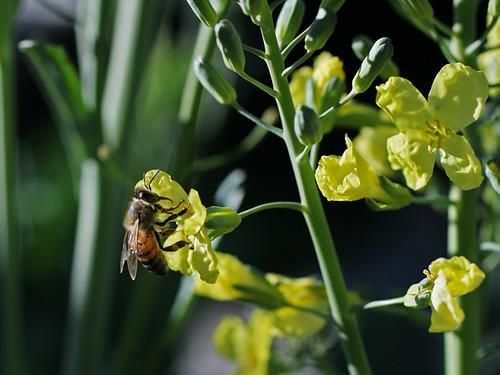 Bee-on-Broccoli