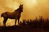 horse by king David Israel
