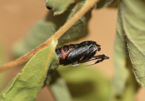 Pupal case of [prob] Olethreutes albiciliana