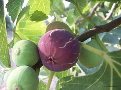 ثمرة التين , fig fruits