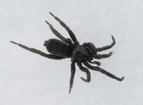 Ground Spider (Gnaphosidae); Gnaphosa sp?