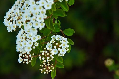 137/365 | Renaissance spirea (blossoms)