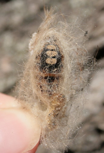 Cocoon of White-marked Tussock Moth, Orgyia leucostigma