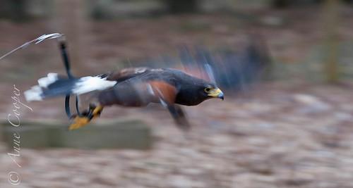 Cody: Harris' hawk (in-flight)