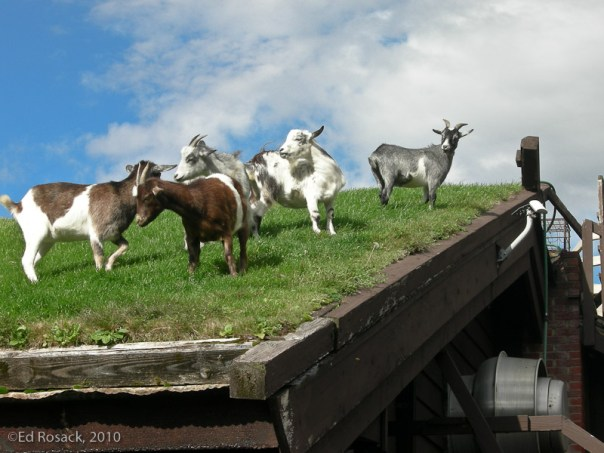 Goats on a roof 3