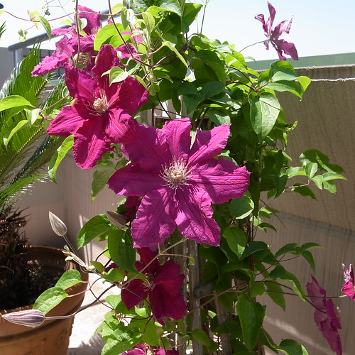 today's Clematis