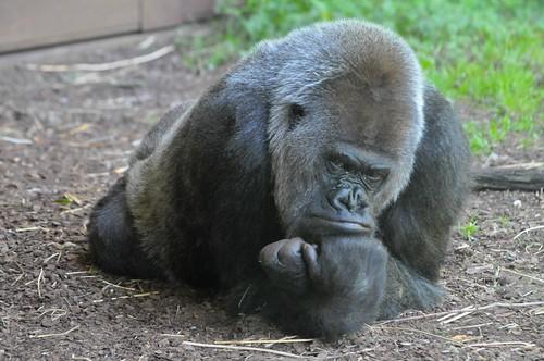 Gorilla Dalila im Gaia Park in Kerkrade