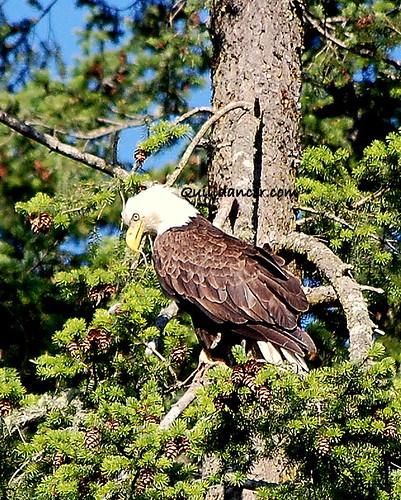 glaring eagle