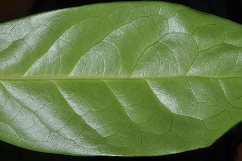 Corynocarpus cribbianus