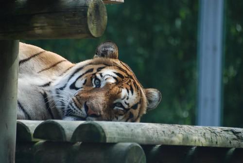 Tiger im Zoo de La Palmyre