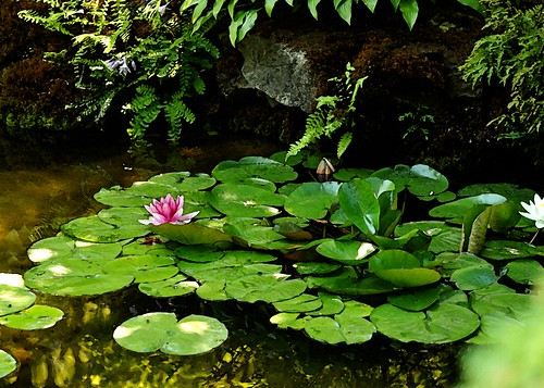 water lily wc2