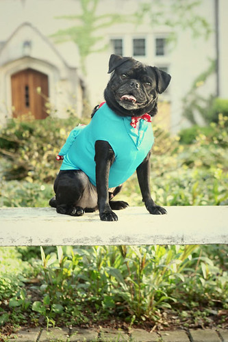 Maverick, the pug, ring bearer
