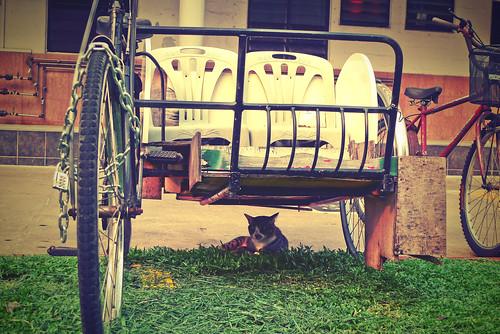 Cat under trishaw