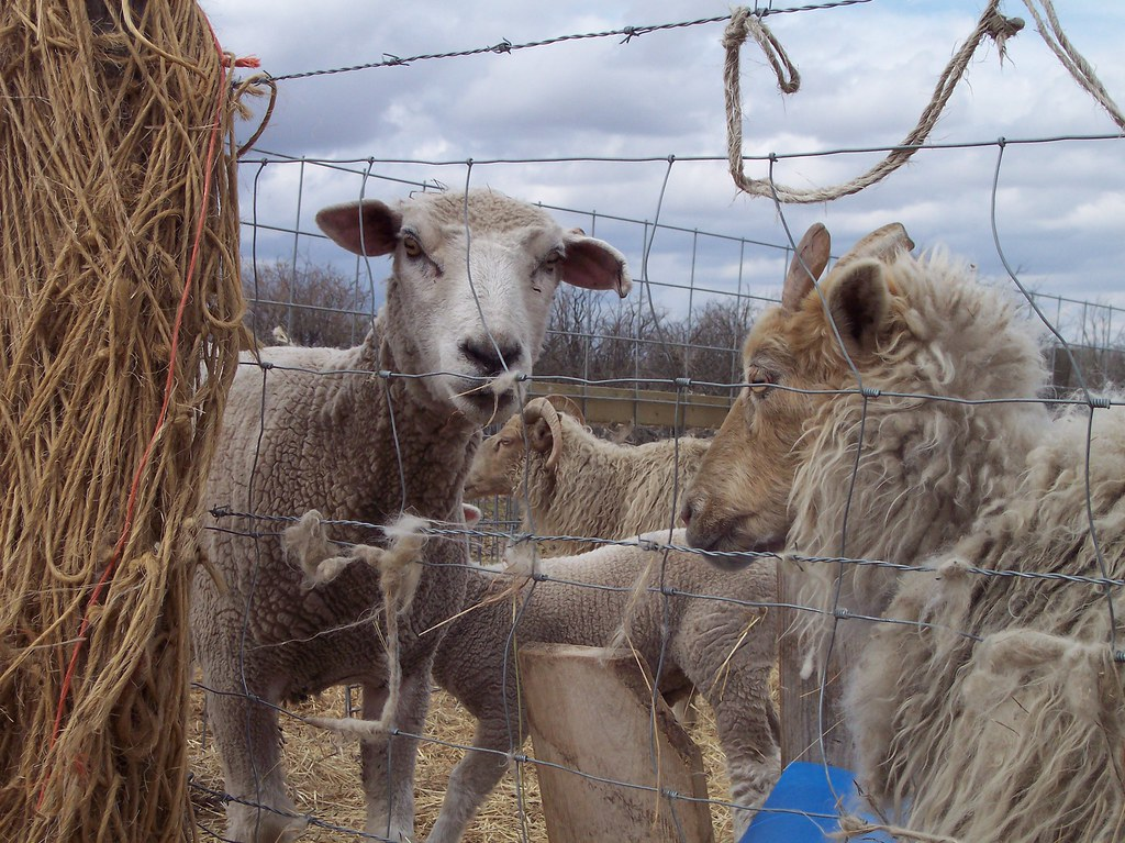 Sheep Shearing 2010