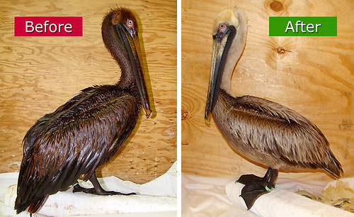 Gulf-Oiled-Pelican-Before-After-Cleaning by IBRRC.