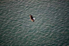 Bald eagle over Salish Sea