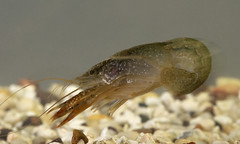 Crayfish Brain May Offer Rare Insight into Hum...