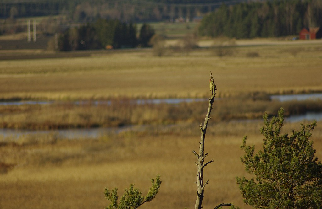 trädfågel