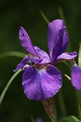新治市民の森のアヤメ(Iris at Niiharu Community Woods, Japan)