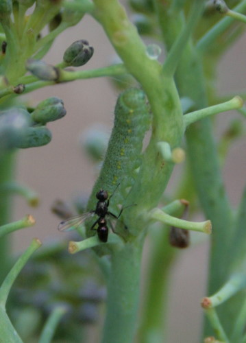 black scavenger fly with Cabbage White caterpillar on broccoli