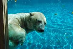 Eisbär Nanouk im Zoo de La Flèche