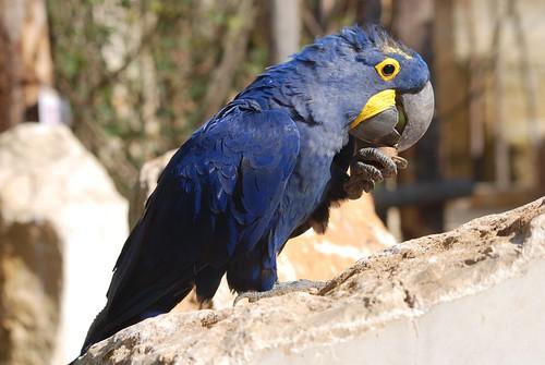 Hyazinth-Ara im Zoo de Doué-la-Fontaine