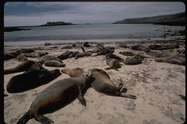Zalophus californianus (Galapagos Sea Lion)