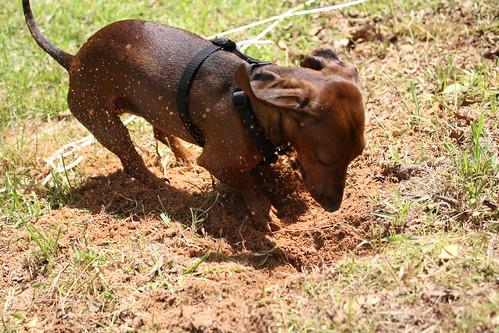 oliver digging