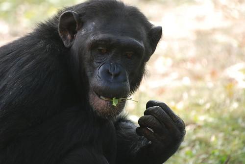 Schimpanse im Zoo de La Palmyre