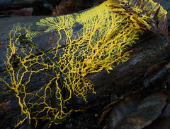 many headed slime - physarum polycephalum