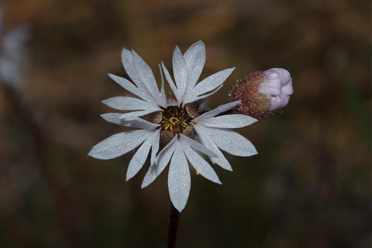 Small-flowered Woodland Star
