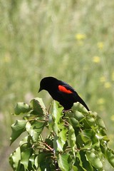 Red-winged Blackbird (Agelaius phoeniceus), bicoloured form.