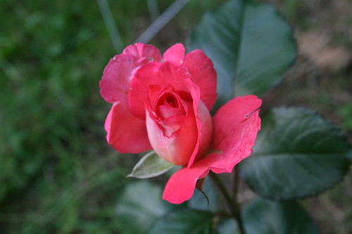 Deep pink rosebud