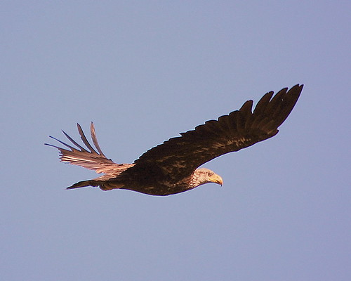 immature eagle in flight