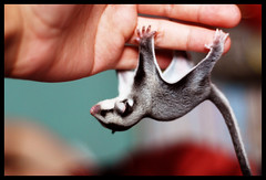baby sugar glider hangs upside down to a human hand