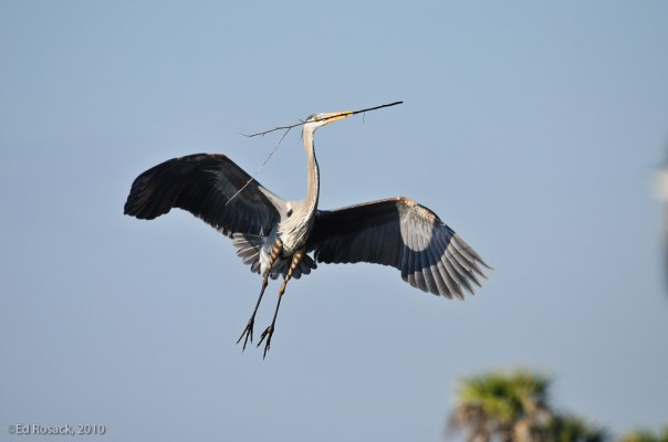 Pair of Great Blue Herons building nest