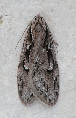 0916 - Semioscopis aurorella