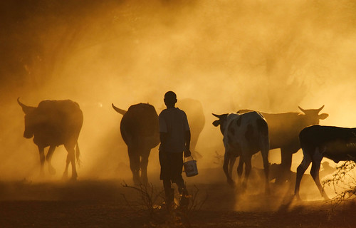Cattle returning home in Mozambique #2