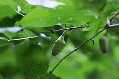 四季の森公園のロウバイの実(Shikinomori Park, Japan)