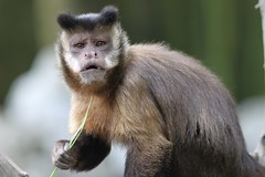 Capuchin Monkey by Michael Ransburg