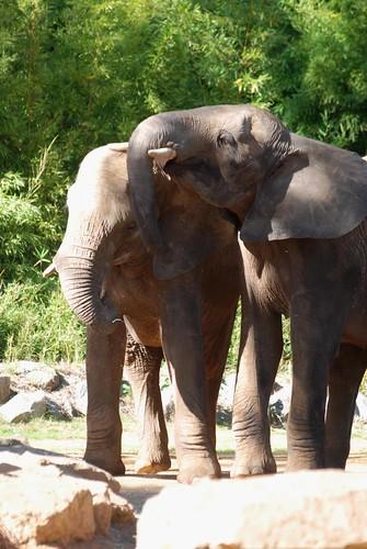 Afrikanische Elefanten Pembé und Akili im Zoo de La Flèche