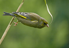 Greenfinch off bamboo