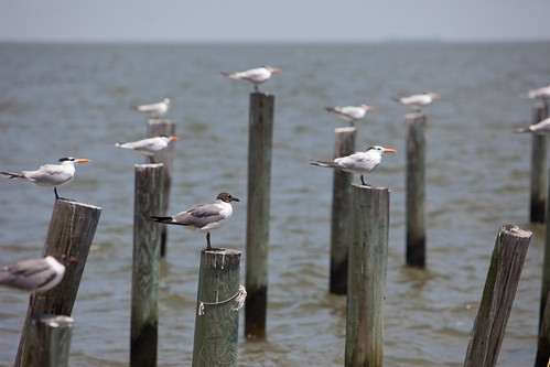 Seagulls gather for rest on dock posts in Dauphin Bay, Alabama - TEDx Oil Spill