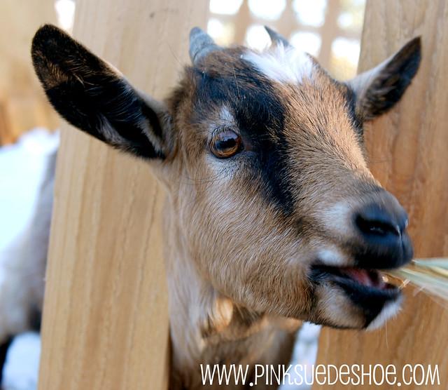 GV goat